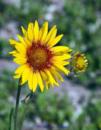 South Fork of the Flathead, Bob Marshall Wilderness, Wildflowers