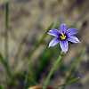 Blue-eyed-grass