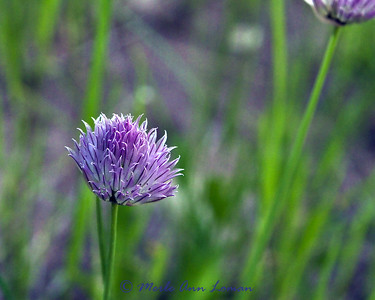 Wild chives