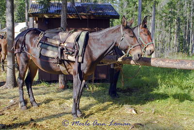 """Two """"black"""" mules. Even though they aren't coal black, these are called black mules."""