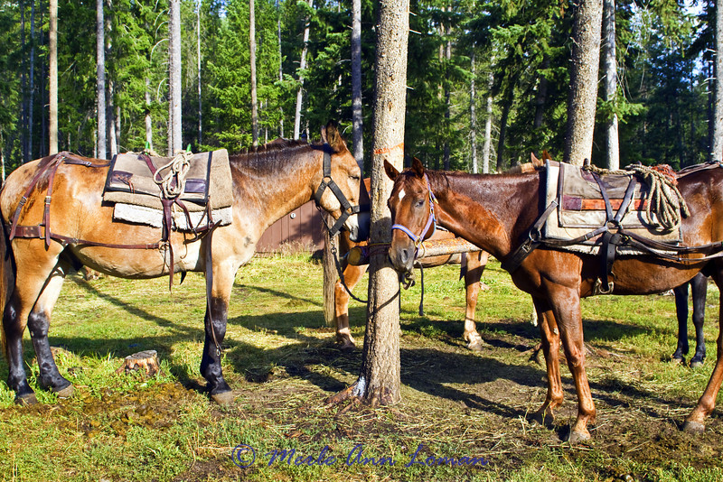 Pack mule (left) and pack horse (right - he is a Thoroughbred, they say any horse can make a pack horse...) waiting to be loaded.
