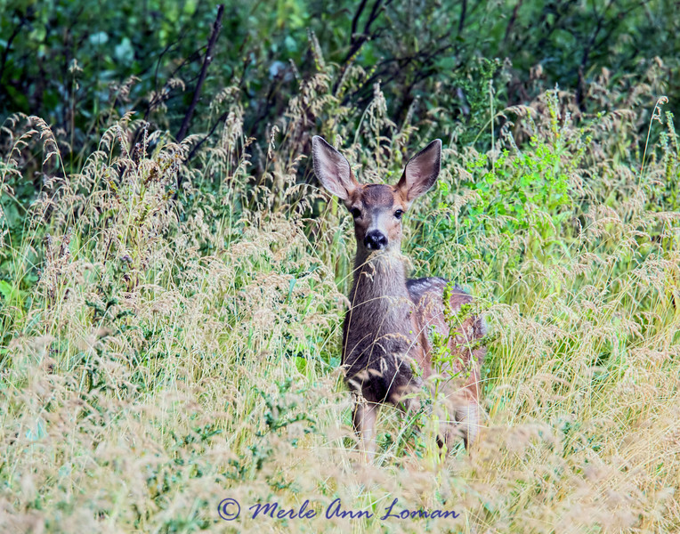 Mule deer fawn in Montana, Smith River in July - Image 0342