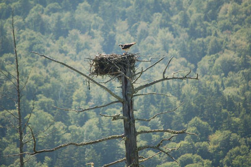 Osprey Nest Near Magalloway River