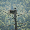 Osprey Nest Near Magalloway River