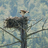 Osprey Feeds Its Chicks