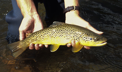 Brown Trout, Frying Pan River-101