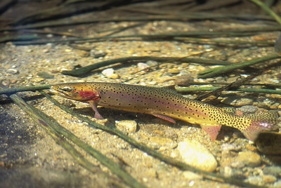 Cutthroat Trout 8-02