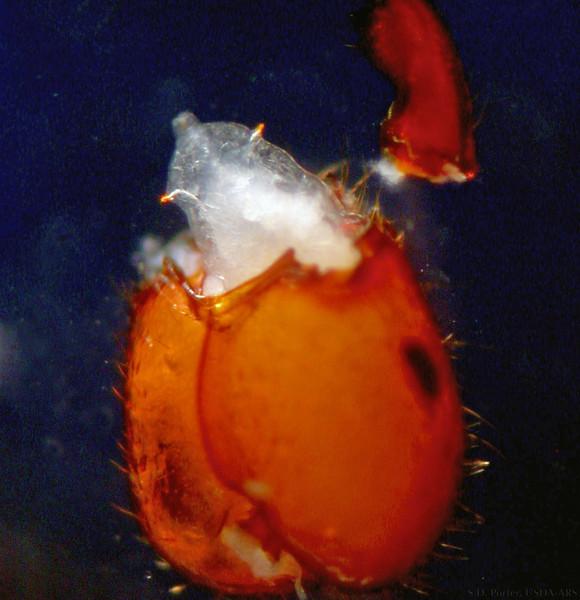 larva in head-07