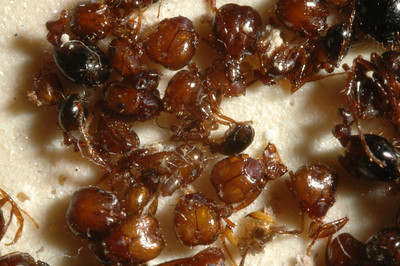 pupae in tray-1
