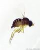 obtusus-female