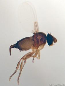 curvatus-female-3b