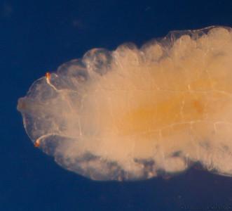 Lit-larva-5