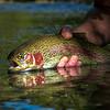 Rainbow trout in autumn light