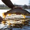 Brown trout backlit