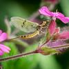 Mayfly ~ ephemera danica