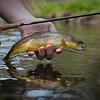 Wonderful wild brown trout