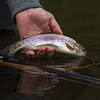 Lovely wild rainbow ~ Tom's first on the Wye