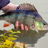 A nice coloured perch goes back to fight another day