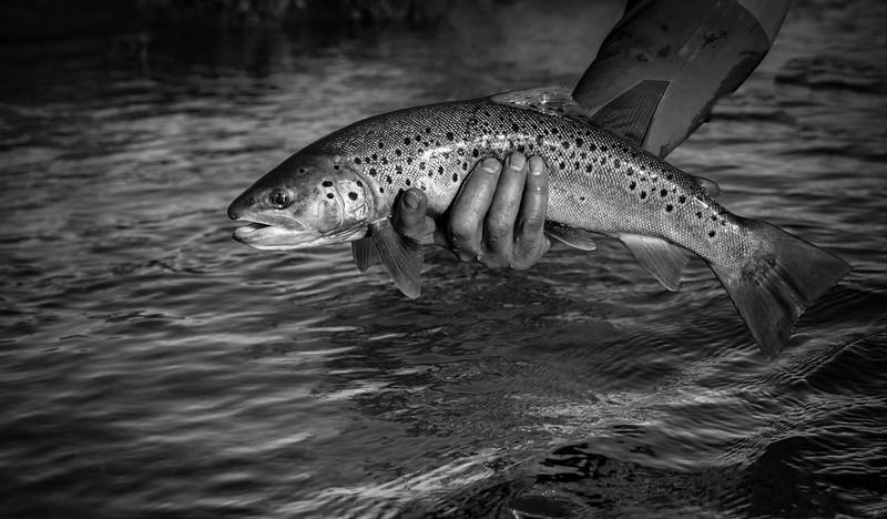 Black & white study ~ brown trout