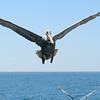 Brown Pelican