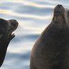 California sea lions fighting