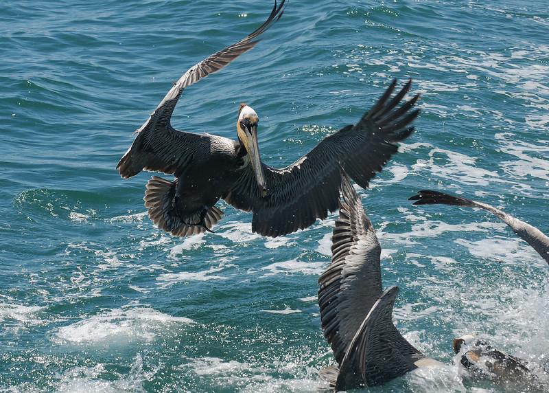 Brown Pelicans going after fish scraps