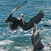 Brown Pelicans going after fish scraps