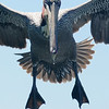Brown Pelican up close