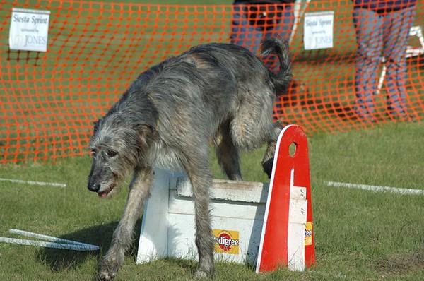 Albury Non Croydon Dogs104