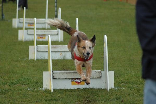 Flyball, Albury 2005 (Non Croydon Dogs)