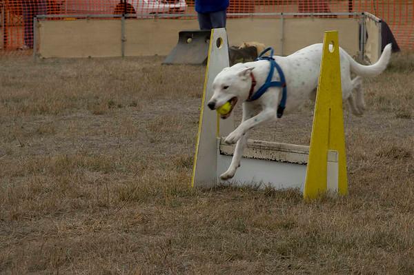 Flyball, Ballarat - April 2008