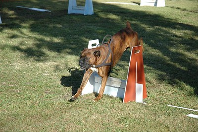 Flyball Dogs