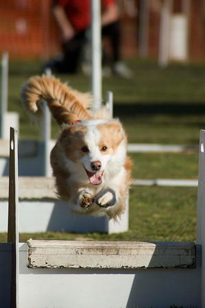Flyball, Geelong, Aug. 2006 (Part 1)