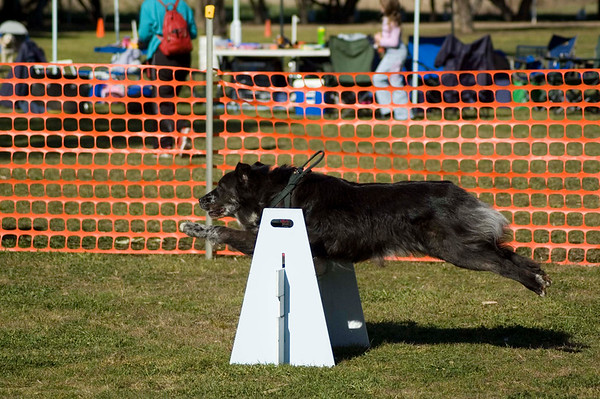 Flyball, Geelong, Aug. 2006 (Part 3)