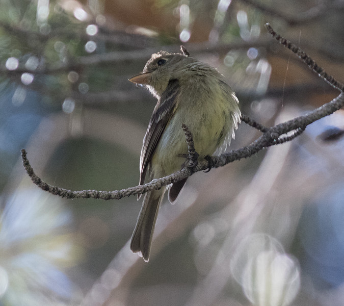 Cordilleran Flycatcher Virginia Lakes 2018 07 24-2.CR2
