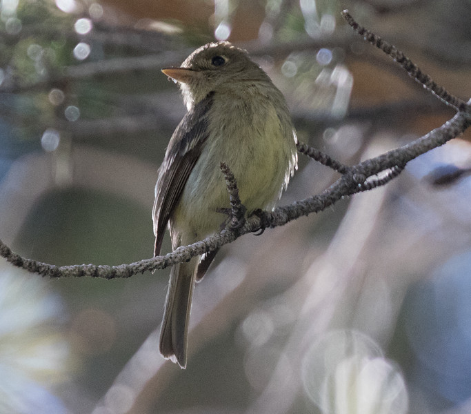 Cordilleran Flycatcher Virginia Lakes 2018 07 24-3.CR2