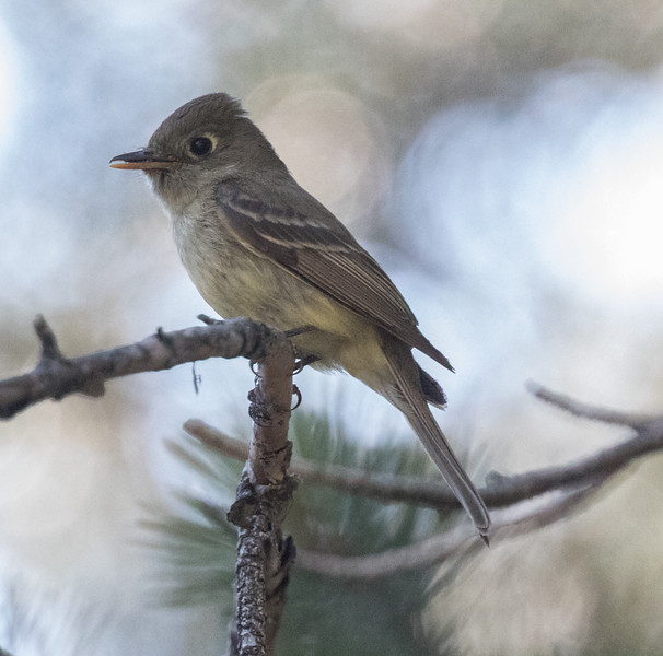 Cordilleran Flycatcher Virginia Lakes 2018 07 24-1.CR2