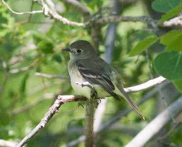 Cordilleron Flycatcher Red Lodge Montana 2015 -06-11-4.CR2