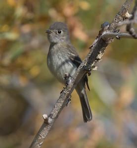 Dusky Flycatcher Mono Lake County Park 2020 10 13-6.CR2