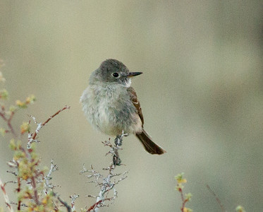 Dusky Flycatcher (probable)   Grant Lake 2012 07 28 (5 of 5).CR2 (20130917 of 5).CR2
