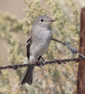 Gray Flycatcher near O`harrel  Canyon 2021 08 14-2.CR3