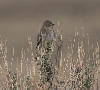 Gray Flycatcher O`Harrel Canyon 2020 04 25-3.CR2