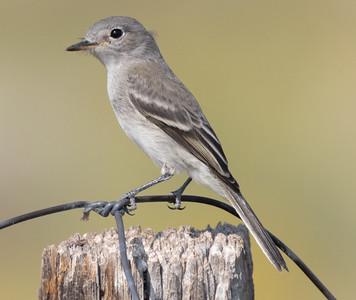 Gray Flycatcher near O`harrel  Canyon 2021 08 14-4.CR3