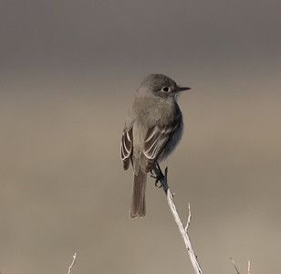 Gray Flycatcher O`Harrel Canyon 2020 04 25-4.CR2