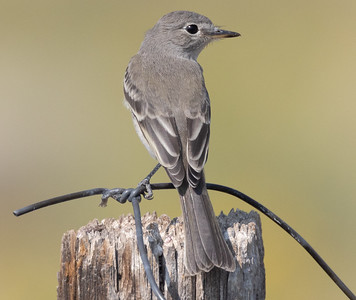 Gray Flycatcher near O`harrel  Canyon 2021 08 14-3.CR3