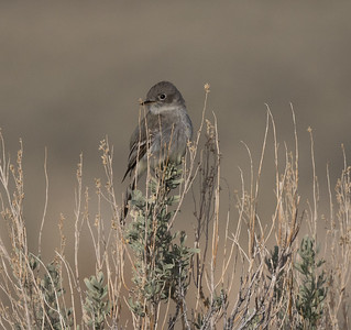 Gray Flycatcher O`Harrel Canyon 2020 04 25-2.CR2