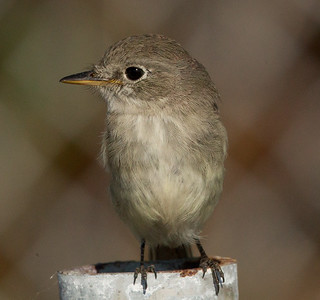 Gray Flycather Chula Vista  2011 12 17 (5 of 5).CR2
