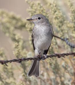 Gray Flycatcher near O`harrel  Canyon 2021 08 14-1.CR3