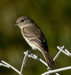 Gray Flycather Chula Vista  2011 12 17 (1 of 5).CR2