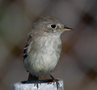 Gray Flycather Chula Vista  2011 12 17 (4 of 5).CR2